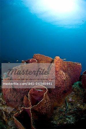 Giant barrel sponge (Xestosongia muta), St. Lucia, West Indies, Caribbean, Central America