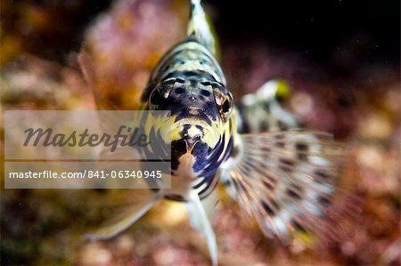 Harlequin bass (Serranus tigrinus), St. Lucia, West Indies, Caribbean, Central America
