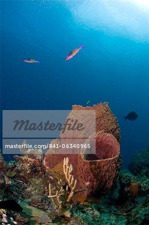 Éponges baril et créole wrasse, Sainte-Lucie, Antilles, Caraïbes, Amérique centrale