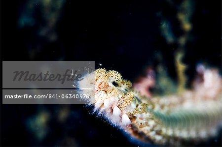Beared fireworm (Hermodice carunculata), St. Lucia, West Indies, Caribbean, Central America