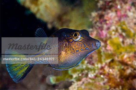 Pompe à nez pointu (Canthigaster rostrata), Sainte-Lucie, Antilles, Caraïbes, Amérique centrale