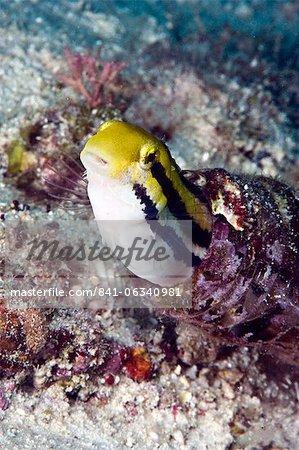 Chabot à tête courte fangblenny (Petroscirtes breviceps), à l'intérieur d'un corail incrusté de bouteille, Philippines, Asie du sud-est, Asie