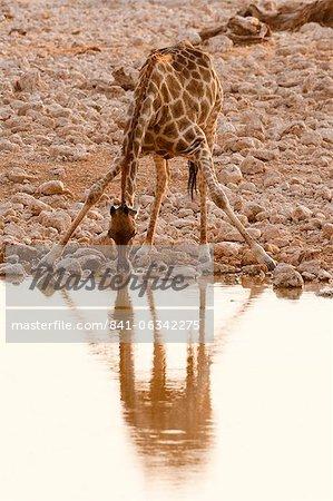 Giraffe (Giraffa camelopardalis), Etosha National Park, Namibia, Africa