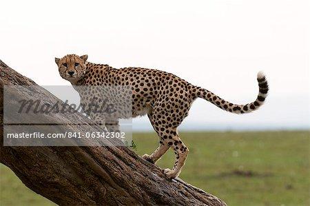 Guépard, (Acynonix jubatus), Masai Mara, Kenya, Afrique de l'est, Afrique