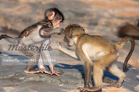 Babouins chacma de bébé (Papio cynocephalus ursinus), playfighting, Kruger National Park, Afrique du Sud, Afrique