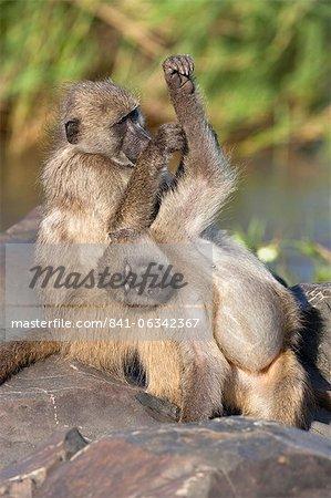 Babouins Chacma (Papio cynocephalus ursinus), toilettage, Kruger National Park, Afrique du Sud, Afrique