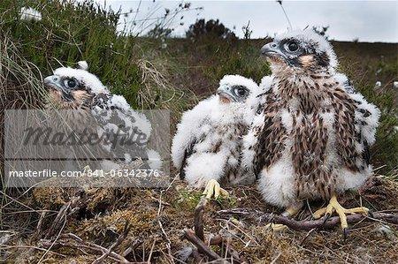 Poussins de faucons pèlerins (Falco peregrinus), après être bagués, Parc National de Northumberland, Angleterre, Royaume-Uni, Europe