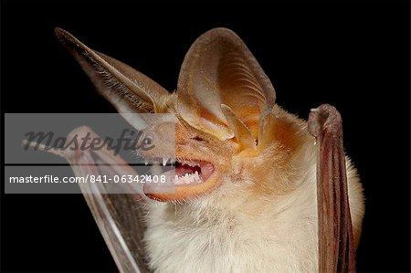 Pallid bat (Antrozous pallidus) in captivity, Hidalgo County, New Mexico, United States of America, North America