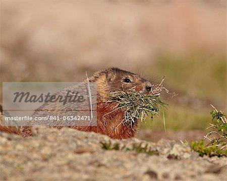Gelbbauchmurmeltier (Yellowbelly Murmeltier) (Marmota Flaviventris) mit Verschachtelung Material, Yellowstone Nationalpark, Wyoming, Vereinigte Staaten von Amerika, Nordamerika