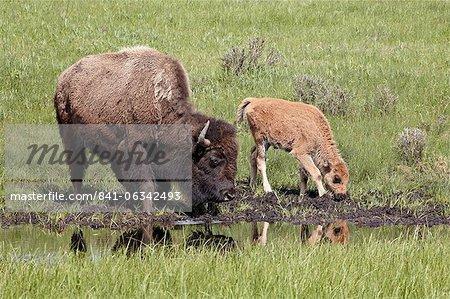 Bison (Bison bison) vache et veau boire, Parc National de Yellowstone, Wyoming, États-Unis d'Amérique, l'Amérique du Nord