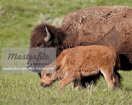 Bison (Bison Bison) Kuh und Kalb, Yellowstone Nationalpark, Wyoming, Vereinigte Staaten von Amerika, Nordamerika