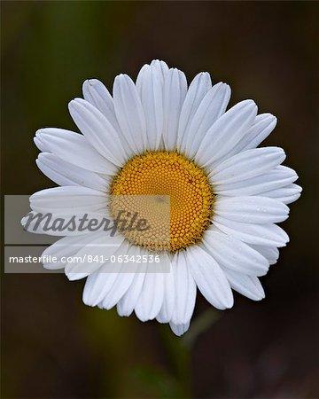 Marguerite, leucanthème vulgaire (Marguerite) (Leucanthemum vulgare), Parc National Waterton Lakes, Alberta, Canada, en Amérique du Nord