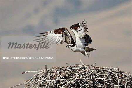 Osprey (Pandion haliaetus) taking off from its nest, Lemhi County, Idaho, United States of America, North America