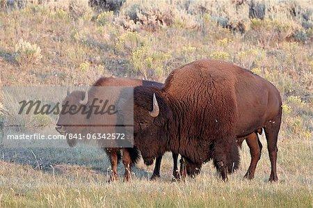 Bison (Bison Bison) Stier und Kuh, Yellowstone Nationalpark, Wyoming, Vereinigte Staaten von Amerika, Nordamerika