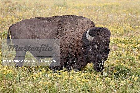 Bison (Bison bison) taureau parmi les fleurs sauvages jaunes, Parc National de Yellowstone, Wyoming, États-Unis d'Amérique, Amérique du Nord