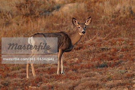 Maultierhirsch (Odocoileus Hemionus) Ricke, Theodore-Roosevelt-Nationalpark, North Dakota, Vereinigte Staaten von Amerika, Nordamerika