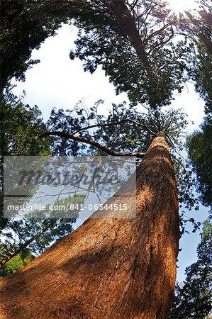 Séquoia géant (Sequoiadendron giganteum), Royal Botanic Gardens, Kew, Londres, Royaume-Uni, Europe