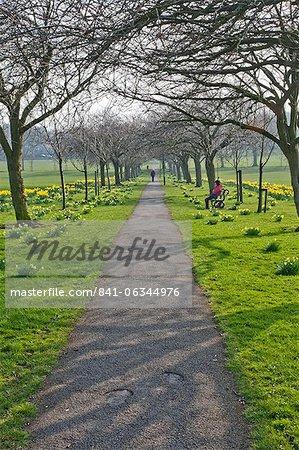 Daffodils on The Stray, Harrogate, North Yorkshire, England