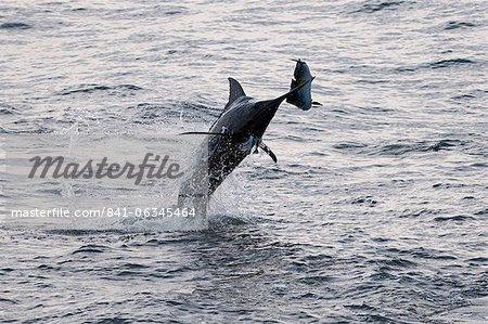 Blue Marlin (Makaira nigricans) hunting Dorado (Coryphaena hippurus), Congo, Africa