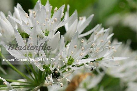 Nahaufnahme von Bärlauch (Bärlauch) (Allium Ursinum) Teppichboden Wald-Boden, Wiltshire, England, Vereinigtes Königreich, Europa