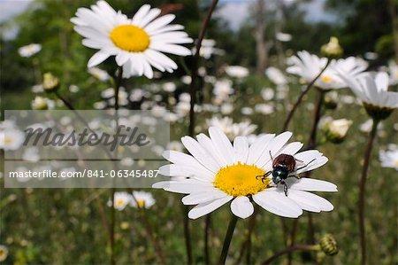 Hanneton (Phyllopertha horticola) sur oeil de boeuf ou de la Marguerite blanche (Leucanthemum vulgare) dans la prairie, dans le Wiltshire, Angleterre