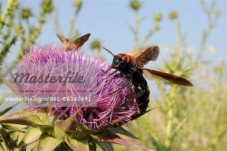 Mammouth wasp (Megascolia maculata maculata) se nourrissant de chardon-Marie (marianum), Lesbos, Grèce