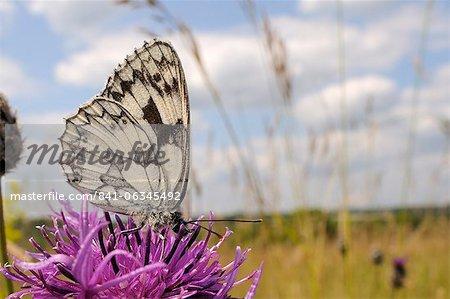 Papillon blanc marbré (Melanargia galathea), se nourrissant de la plus grande fleur de centaurée maculée (Centaurea scabiosa), dans le Wiltshire, Angleterre
