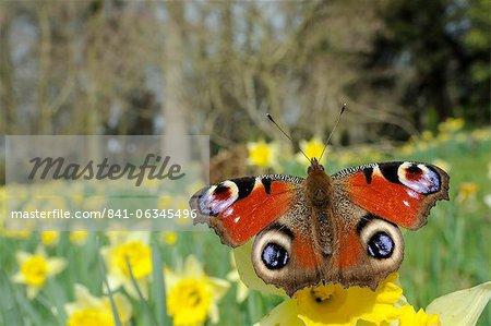 Papillon paon (Inachis io) sur sauvage jonquille (pseudonarcissus Narcisse), dans le Wiltshire, Angleterre