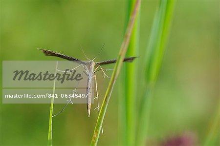 Ptérophore (Stenoptilia bipunctidactyla) sur l'herbe, dans le Wiltshire, Angleterre