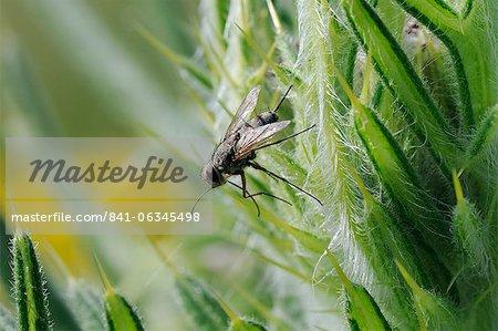 Mouche parasite ou tachinaires fly (Prosena siberita) avec longue trompe, Wiltshire, Angleterre