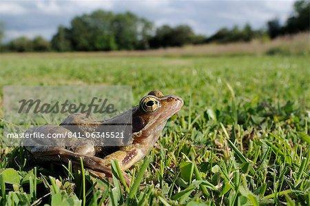 Grenouille ou herbe amphibien (Rana temporaria) prairie humide, Wiltshire, Angleterre