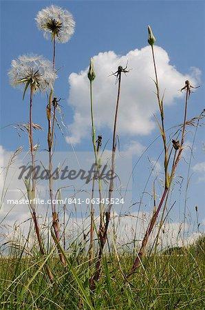 Aruncus voyantes (Jack aller au lit à midi) (salsifis Meadow) (Tragopogon pratensis) inflorescence horloges et les fleurs fermées, Wiltshire, Angleterre, Royaume-Uni, Europe