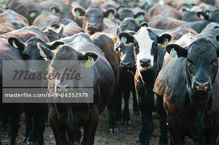 Herde Kühe tragen Markierungen in den Ohren