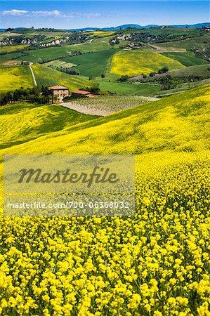 Fleurs de canola et de laminage à flanc de colline, Montalcino, Val d'Orcia, Province de Sienne, Toscane, Italie