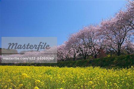 Cherry blossoms in Hidaka, Saitama