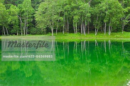 Birken wider am Tateshinakogen See in Nagano