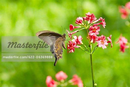 Alpine Black Swallowtail butterfly sur une fleur de primevère japonaise