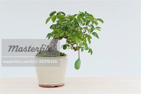 Mini bonsai of Chocolate Vine