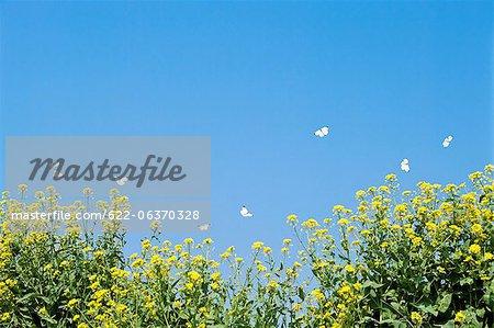 Papillons voltigeaient au-dessus d'un champ de colza