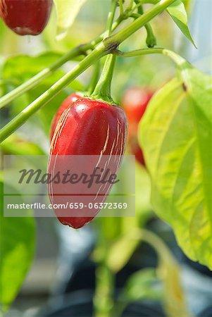 Roter Chili auf der Pflanze