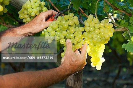 Coupe d'une vigne de raisin