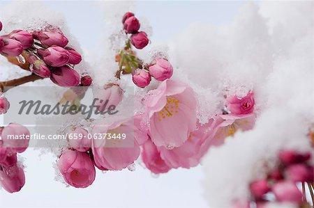 Snow-covered cherry blossom