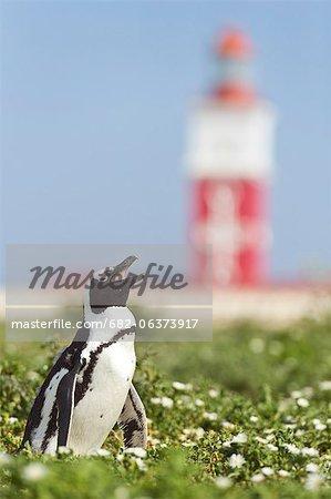 African Penguin among summer flowers on meadow, Bird Island, Algoa Bay, South Africa