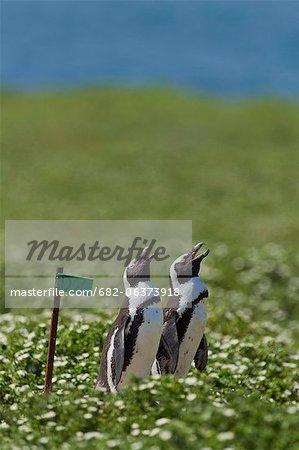 African Penguins on summer meadow, Bird Island, Algoa Bay, South Africa