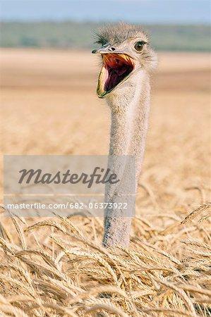 Yawning ostrich on corn field, Bredasdorp, Western Cape, South Africa