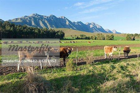 Vache (Bos primigenius) paissent dans les pâturages d'une ferme Greyton, Overberg, Western Cape, Afrique du Sud