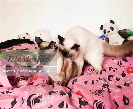 Deux chats siamois sur lit