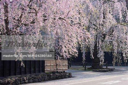 Weeping Cherry Blossoms, résidences de samouraïs, Akita Prefecture, Japon