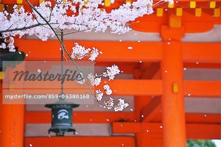 Cherry Blossom At Heian Shrine, Kyoto, Japan