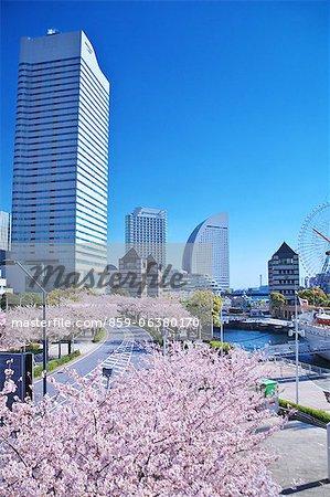 Sakura At Minato Mirai 21, Yokohama, Japan